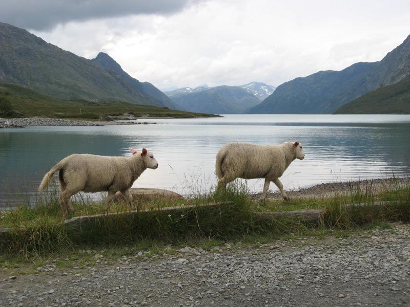 """Gjendesheim Sheep"""