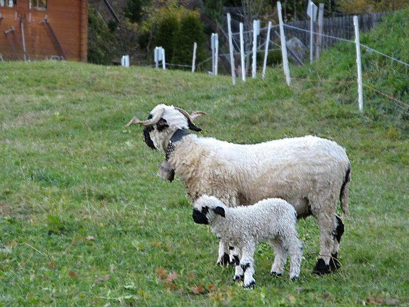 """Valais blacknose sheep"""