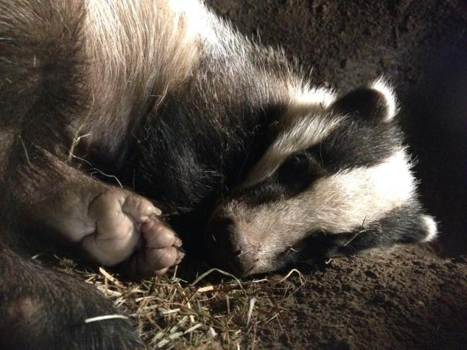Badger from The Burrowers